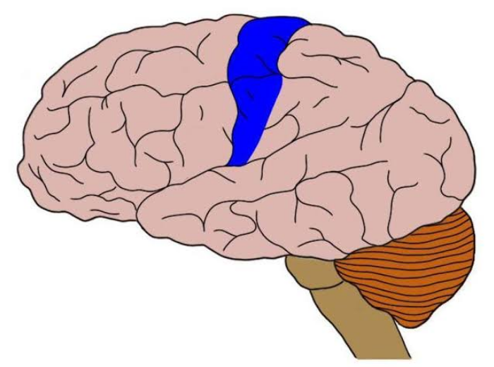 somatosensory cortex location