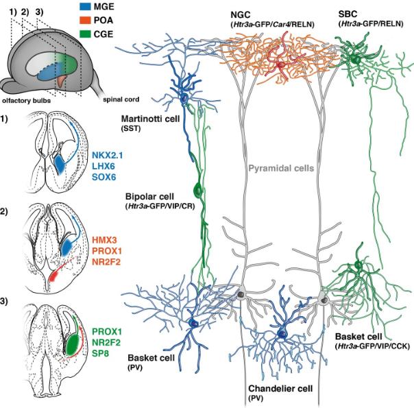 Cortex Interneurons