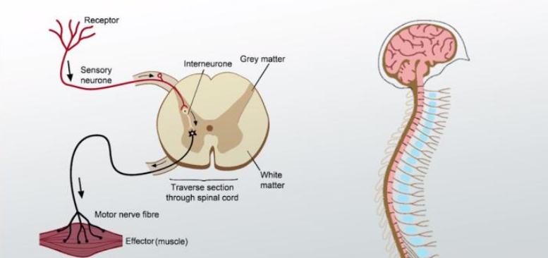 Spinal cord Interneurons