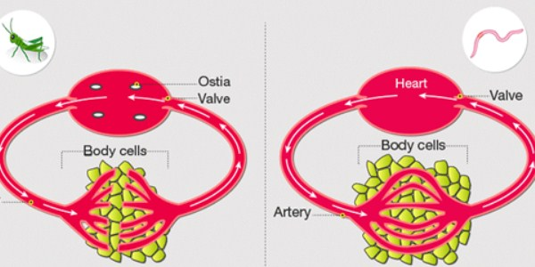 Open vs Closed Circulatory Systems
