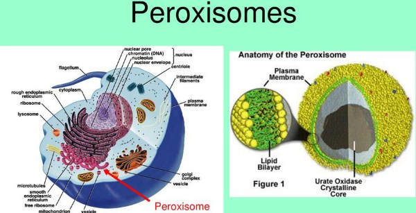 Peroxisomes Function