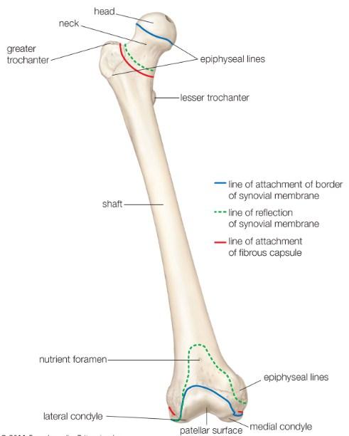 Femur Bone: Definition, Diagrams, Location, Parts & Functions