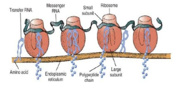 Site of Protein Synthesis
