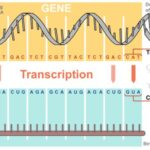 Transcription Process In Protein Synthesis