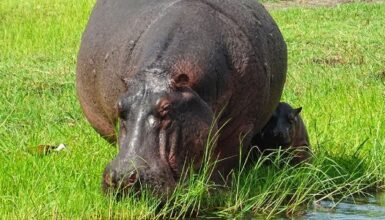 What Do Hippos Eat