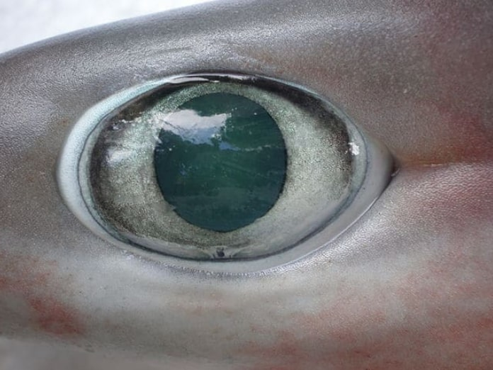 Most Sharks Have Good Eyesight