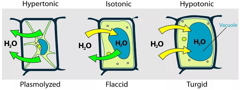 Plasmolyzed, Flaccid And Turgid