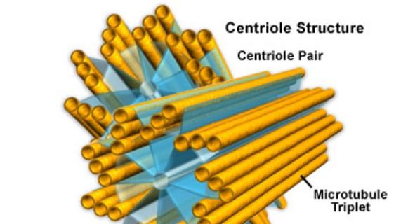 Centrioles Structure